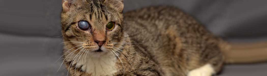 What is Glaucoma in Cats and How to Treat It